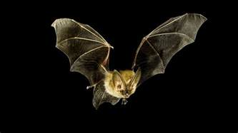 What Time Do The Bats Fly In I Pipistrelli