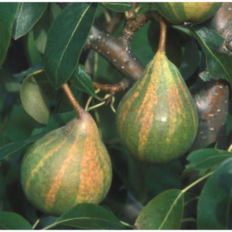 ornamental pear tree fruit pear humbug buy pear trees purchase pear fruit trees
