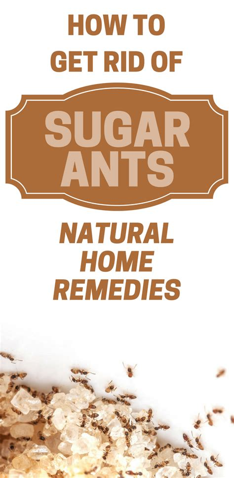 how to get rid of sugar ants home remedies