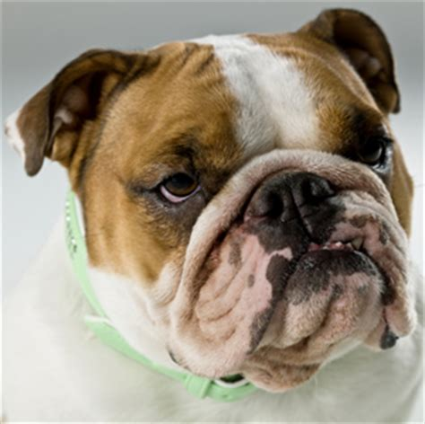 manly dogs bulldog manly dogs askmen