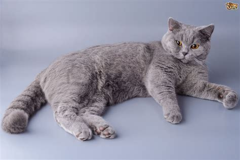 shorthair cat 20 large cat breed in the world