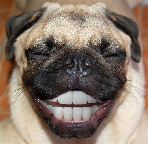 smiling pug pug smiling pugs photoshopped lol left out feelings and dental