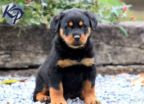 mini rottweiler puppies for sale in pa 25 best ideas about rottweiler puppies for sale on