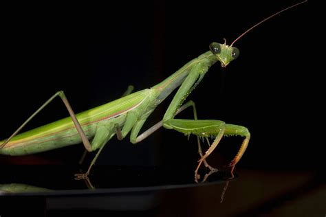 Praying Mantis L by 301 Moved Permanently