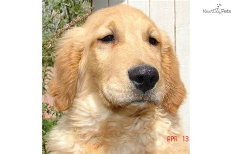 american golden retriever puppies golden retriever puppy for sale near salt lake city utah e98b47b9 13e1