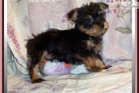 chorkie puppy newborn chorkie puppies images