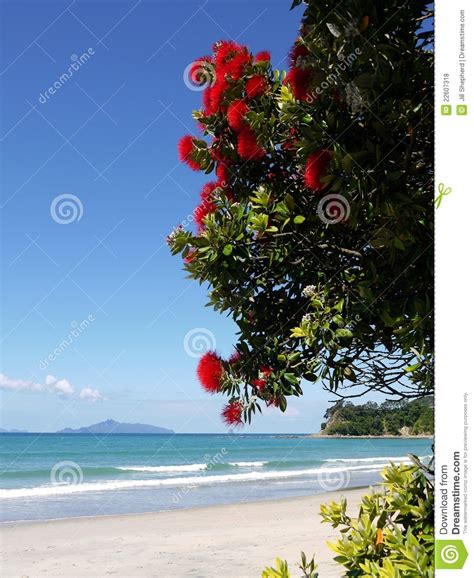 new zealand red flowering tree at beach royalty free