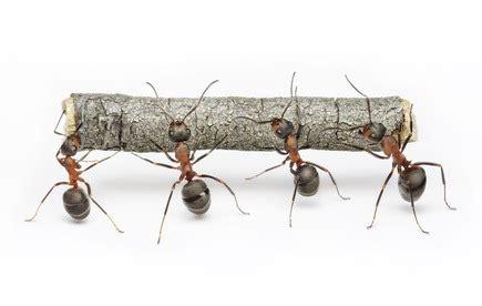 comment se d饕arrasser des fourmis dans une cuisine contre les fourmis 5 solutions naturelles