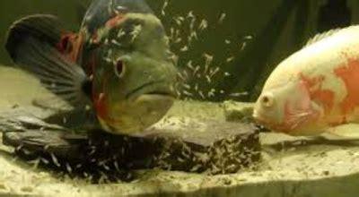 Pakan Pelet Ikan Predator ikan oscar astronotus ocellatus biota dunia perairan