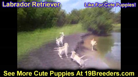 puppies for sale in kalispell mt labrador retriever puppies for sale in butte silver bow montana mt helena