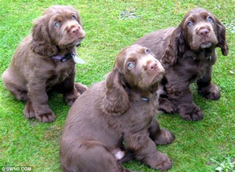 sussex spaniel puppies spaniel which was rarer than the panda saved from extinction in just a