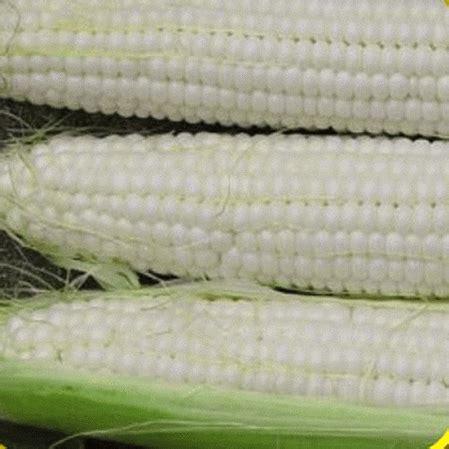 white hybrid sweet corn seeds sugar pearl
