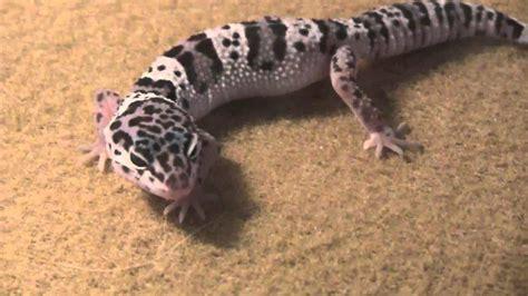 Leopard Gecko 2 mack snow leopard gecko for sale baby mack snow leopard
