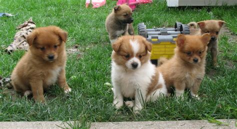 chihuahua and pomeranian puppies chihuahua and pomeranian puppies for sale breeds picture