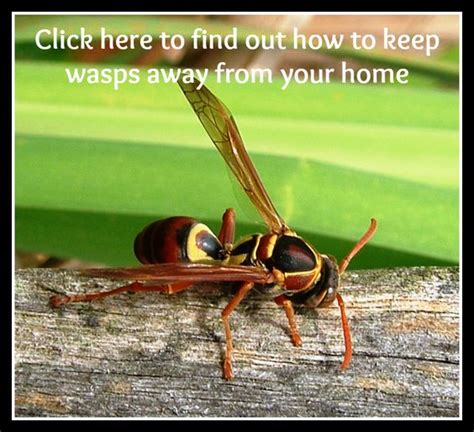 how to keep wasps away from house how to keep wasps away from your home home and wasp