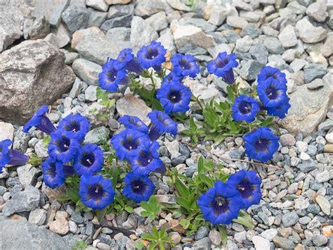 specie fiori fiori di montagna le specie pi 249 facili da coltivare