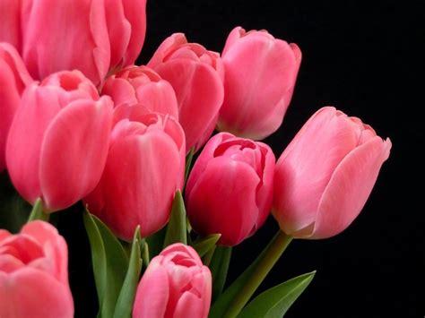 Imagenes Tulipanes Rosas | im 225 genes de flores y plantas tulipanes