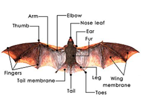labelled diagram of a bat bat anatomy diagram wiring diagram schemes