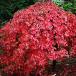 acer palmatum dissectum ever red weeping japanese maple trees