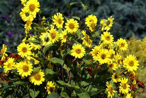 stauden gelb winterhart sonnenblumen stauden 187 diese sorten sind mehrj 228 hrig