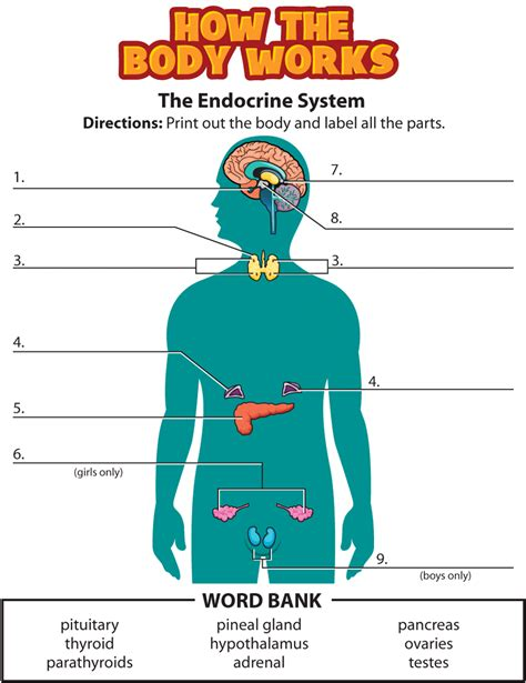 The Endocrine System Worksheet by Activity Endocrine System