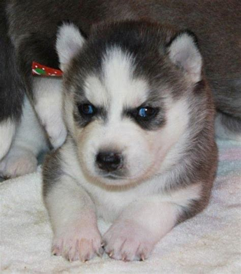 golden retriever husky mix for sale michigan golden retriever siberian husky mix puppies for sale in michigan breeds picture