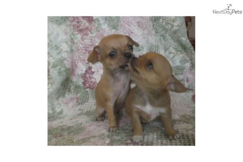 free puppies los angeles images of akc teacup applehead chihuahua puppies los angeles usa free breeds picture
