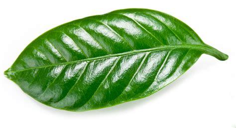 Resmi Green Coffee green coffee leaves stock photo image of