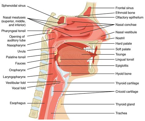 pharynx diagram original file 1 917 215 1 600 pixels file size 926 kb