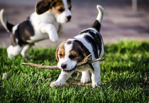beagle puppies indiana beagle puppies for sale akc puppyfinder