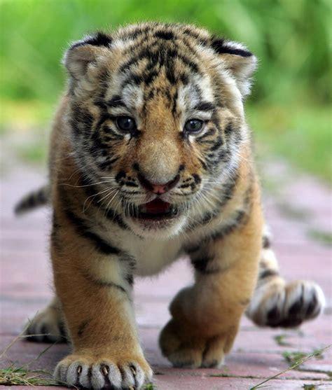 imagenes de tigres verdes wwf s 243 lo quedan 3 200 tigres en libertad