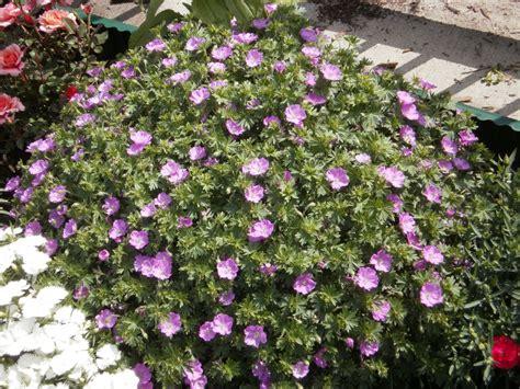 lees little garden perennial geranium