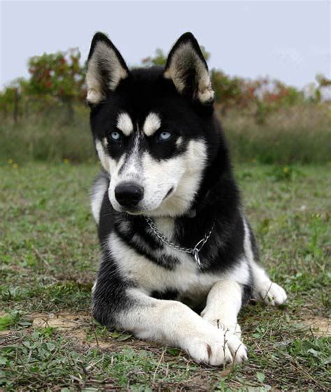 dogs that look like huskies the world s catalog of ideas