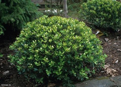 7 inkberry holly ilex glabra compacta photo hgtv com