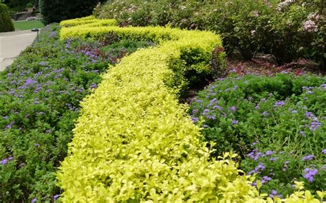 buy sunshine ligustrum 2 5 quart shrubs deer resistant buy plants online