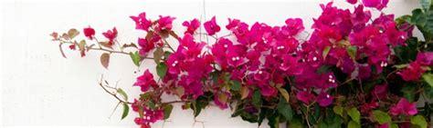 imagenes de rosas trepadoras plantas trepadoras