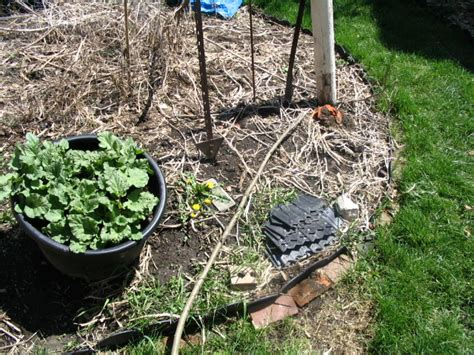 rhubarb container gardening can you grow rhubarb in a container our twenty minute