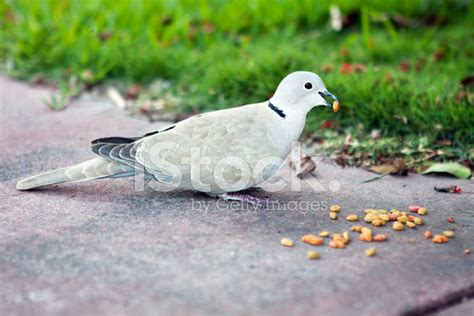 dove eating cat food stock photos freeimages com