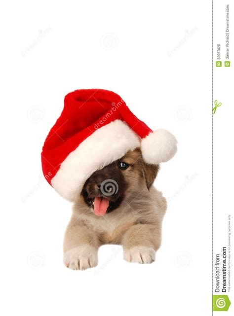 cute puppy in a christmas hat holiday theme stock photo