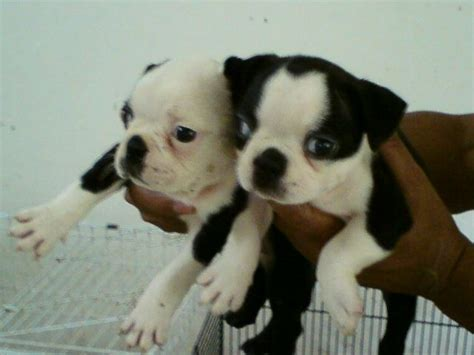 terrier puppies for free free boston terriers for adoption 30 desktop background dogbreedswallpapers