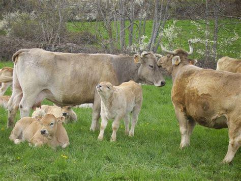 minicuentos de vacas y las 25 mejores ideas sobre vacas lecheras en ganado mostrando el ganado y terneros