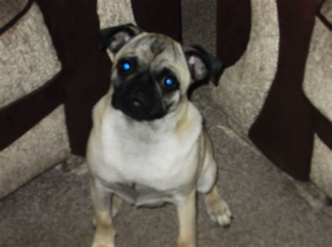 7 month pug pug puppy 7 month for sale normanton west pets4homes