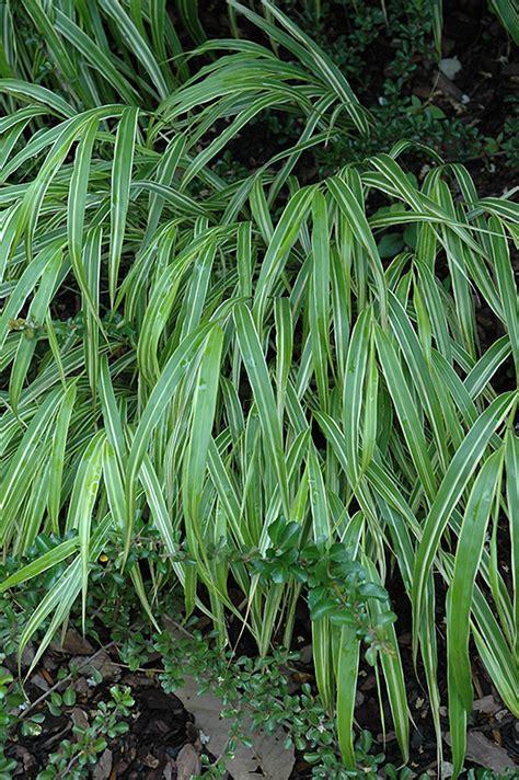 white striped hakone grass hakonechloa macra albo