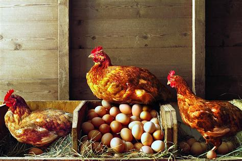 laying hens happy   winter