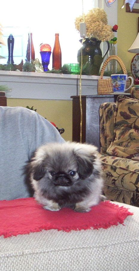 yorkie pekingese puppies 46 best images about peekapoo breed on best of friends poodles and parks