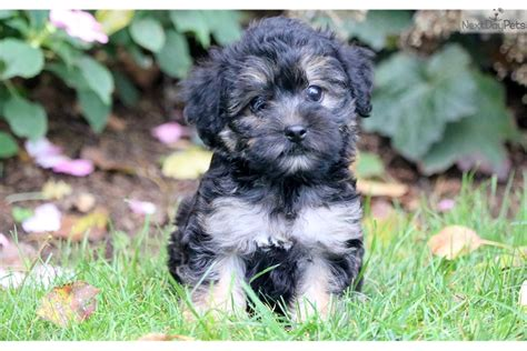 yorkie rescue lancaster pa yorkiepoo yorkie poo puppy for sale near lancaster pennsylvania breeds picture