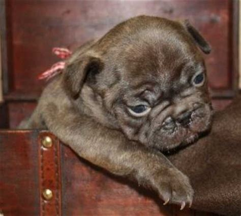 chocolate pug puppies pug puppys and chocolate on