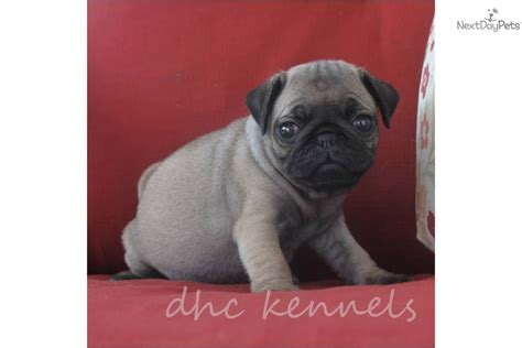 akc pug price meet falon a pug puppy for sale for 600 falon akc pug