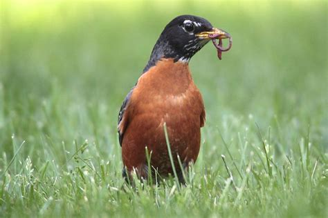 how robins find worms and how you can help