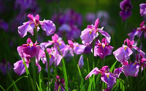 foto fiore iris free wallpapers iris flower wallpapers